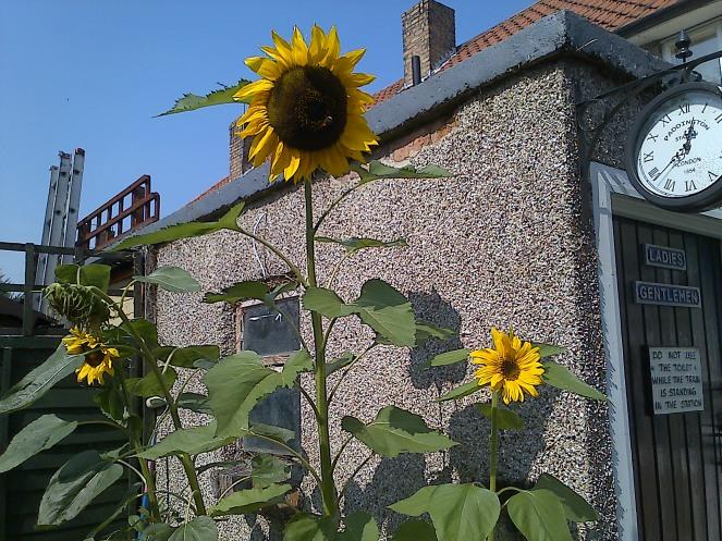 Sunflower 005