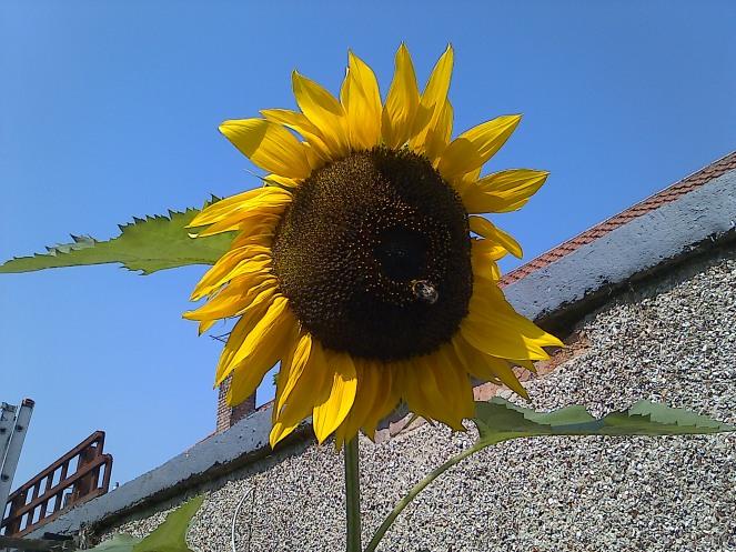 Sunflower 006