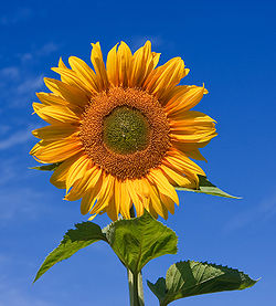 sunflower_1423839c